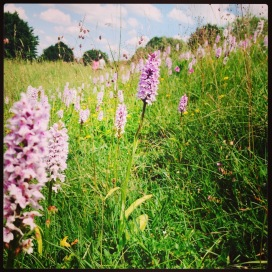 Common Spotted Orchids marching up the hill